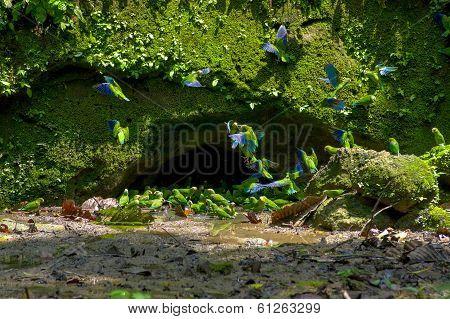 Parakeets in Yasuni Ecuador