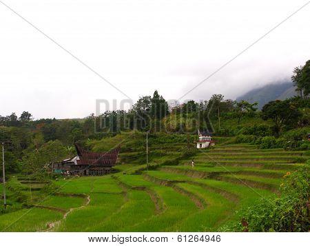 rice flied on mountain at samosir in Sumatra island, Indonesia
