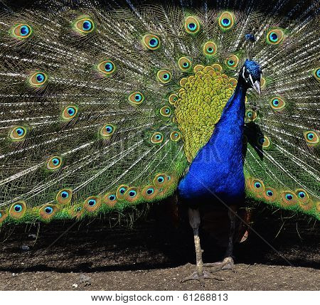Peacock with unfolded tail