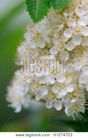 White Rowan Flowers Close-up