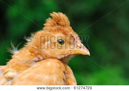 Cute Crested Baby Chicken