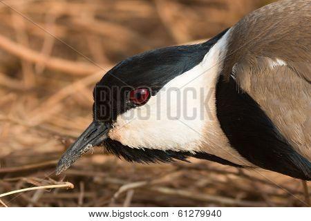 Spur-winged Plover (vanellus Spinosus) Portrait