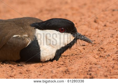 Spur-winged Plover Lying On The Road Close Up