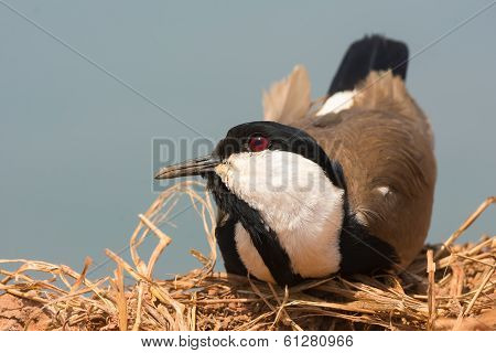 Spur-winged Plover Resting With Head Cocked