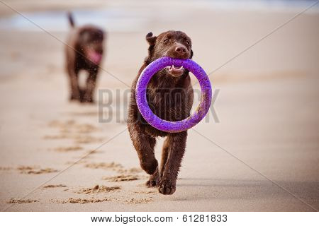 brown labrador retriever dog on the beach