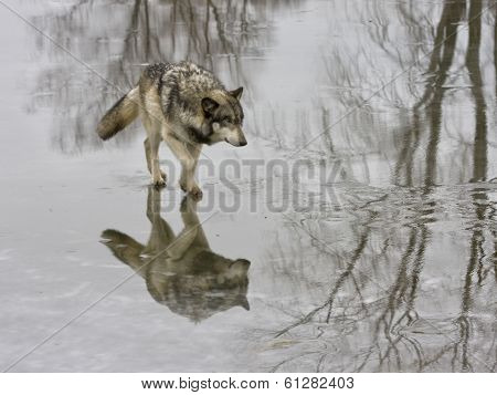 Wolf on a Mission