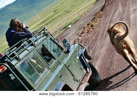 Safari In Africa, Wild Leo Standing Near  Jeep With Tourists.