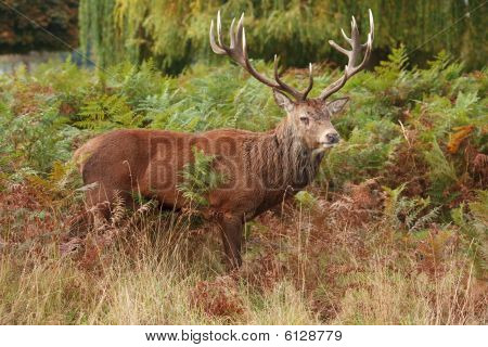 Majestic Stag Wild Red Deer
