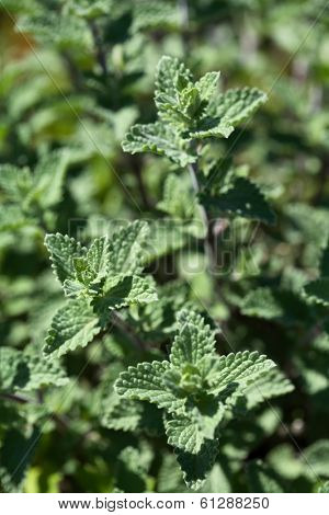 Catmint Herb growing in garden