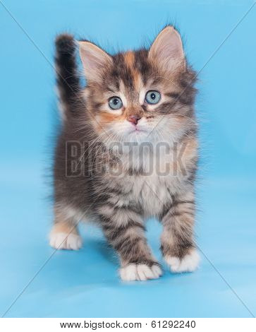 Tricolor Fluffy Kitten Is Incredulous Looking Forward