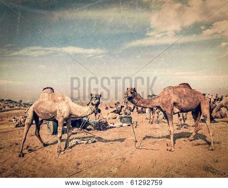 Vintage retro hipster style travel image of camels at Pushkar Mela (Pushkar Camel Fair) with grunge texture overlaid. Pushkar, Rajasthan, India