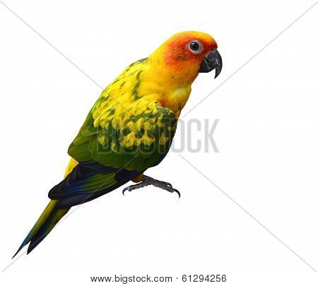 Beautiful Yellow Parrot Bird, Sun Coure, Isolated On White Background