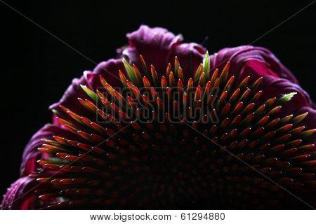 Cone Echinacea flower