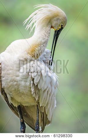 Bird, Eurasian Spoonbill, Platalea Leucorodia, Pruning It's Feat