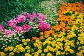 stock photo of marigold  - Flowerbed with marigolds - JPG