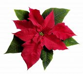 picture of poinsettia  - poinsettia flower on white - JPG