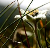 stock photo of edelweiss  - Macro of an Edelweiss flower - JPG