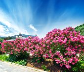 picture of oleander  - Beautiful blooming pink oleander on a seafront