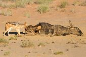 stock photo of jackal  - Hungry Black backed jackal eating on a hollow carcass in the dry desert with mate - JPG