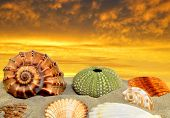 picture of conch  - Conch shell on beach in the sunset - JPG