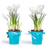 Fresh white crocuses in two blue rustic buckets with ribbon on it in spring. Easter concept.