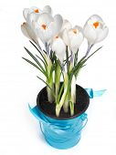 Fresh white crocuses in a blue rustic bucket with ribbon on it in spring. Easter concept.