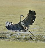 Great Blue Heron (Ardea herodias) Flying