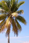 Beautiful Coconut Palm Tree