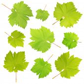Collage of green leaves isolated on white