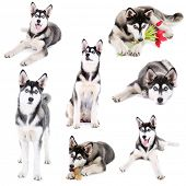 stock photo of laika  - Collage of cute husky puppy isolated on white - JPG