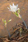stock photo of sand lilies  - Wild white flower  - JPG