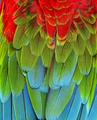 stock photo of parrots  - Close up of Red Green and Blue Macaw Parrot bird feathers - JPG