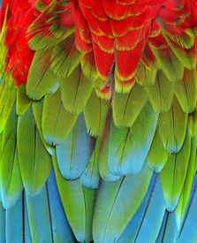 picture of green-winged macaw  - Close up of Red Green and Blue Macaw Parrot bird feathers - JPG