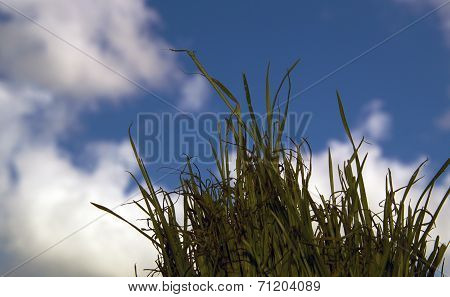 Low Angle Wheatgrass Against The Sky