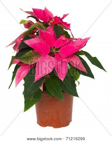 pink poinsettia flower  in pot