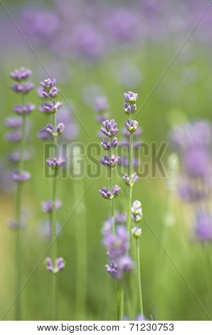 Beautiful purple lavender in lavender plantations