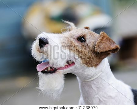 Fox Terrier Outdoors Portrait
