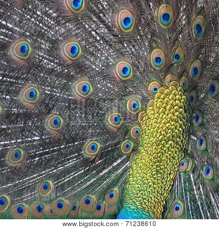 Green Peafowl Feather
