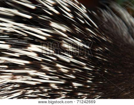 Porcupine Spine