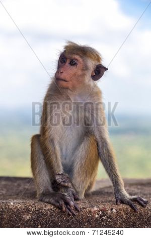 Little macaca monkey siting on the stone wall.