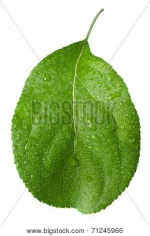 little green leaf isolate on white background