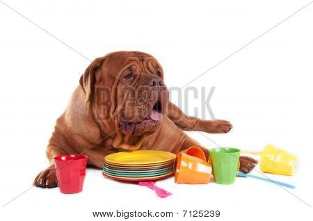French Mastiff On White With Plates