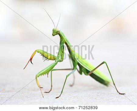 majestic mantis on light background.