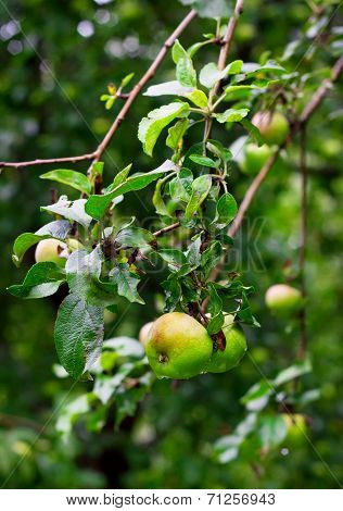 Ripe Green Apples With Drops After Rain