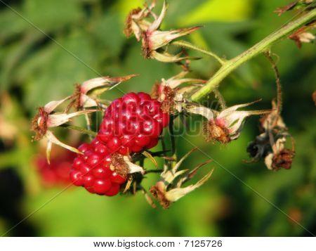 A Bunch Of Raspberries