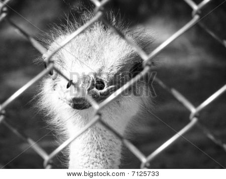 Ostrich Behind The Bars