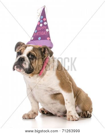 birthday dog - english bulldog wearing birthday headband on white background