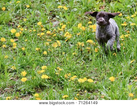 german shorthaired pointer running in the grass - 8 weeks old
