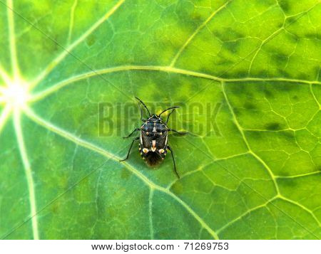 Black Shield bug 1