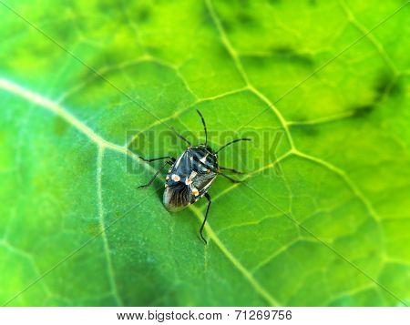 Black Shield bug 2
